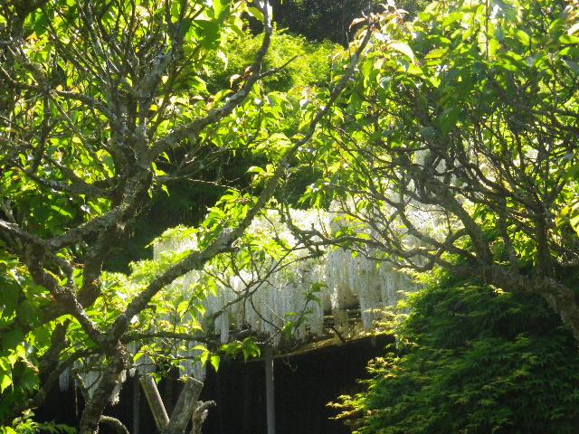 1-09) _ 16.05.05 白藤に蜜蜂が集う時期の、鎌倉「英勝寺」。院」。
