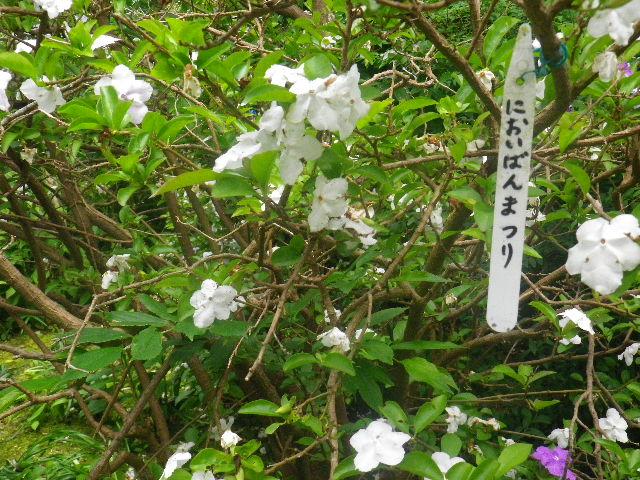 05)   においばんまつり  _ 16.05.28 鎌倉「大巧寺」ヤマアジサイ/ガクアジサイが咲く頃