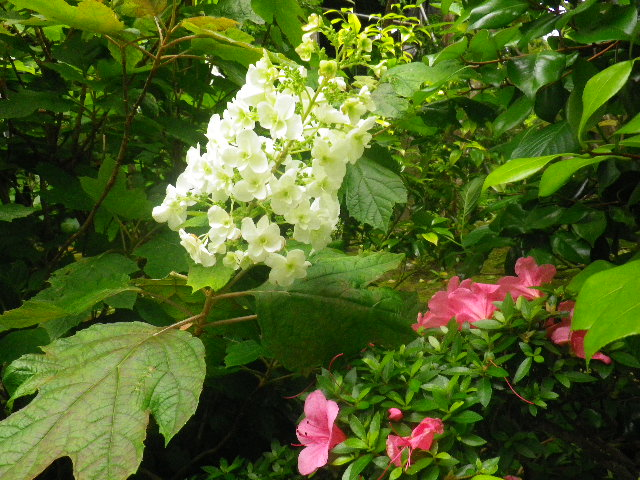 12)    _ 16.05.28 鎌倉「大巧寺」ヤマアジサイ/ガクアジサイが咲く頃