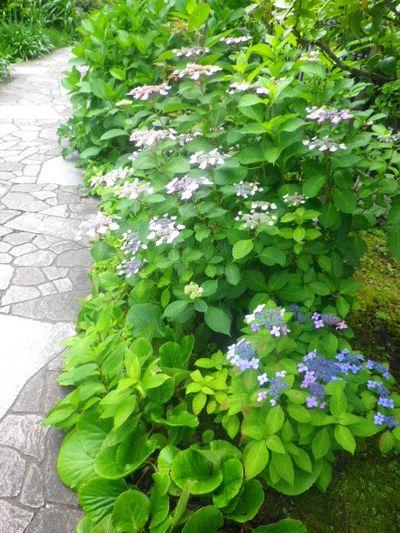 18)   _ 16.05.28 鎌倉「大巧寺」ヤマアジサイ/ガクアジサイが咲く頃
