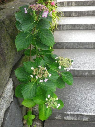 22-1)   _ 16.05.28 鎌倉「大巧寺」ヤマアジサイ/ガクアジサイが咲く頃