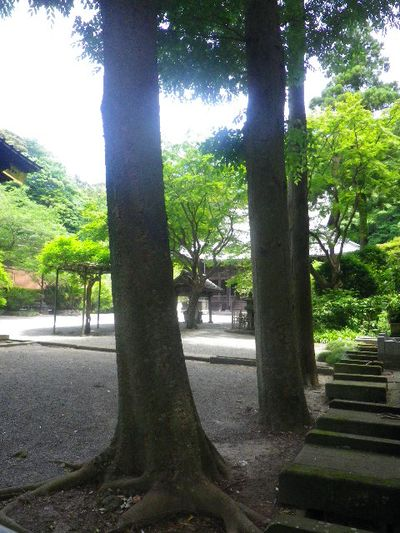 17) 二天門の右前から _ 16.06.04 鎌倉「妙本寺」西洋紫陽花よりも先に、ヤマアジサイ/ガクアジサイが見頃の日。
