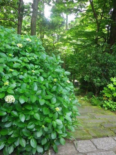 20) 短い苔の階段周辺 _ 16.06.04 鎌倉「妙本寺」西洋紫陽花よりも先に、ヤマアジサイ/ガクアジサイが見頃の日。