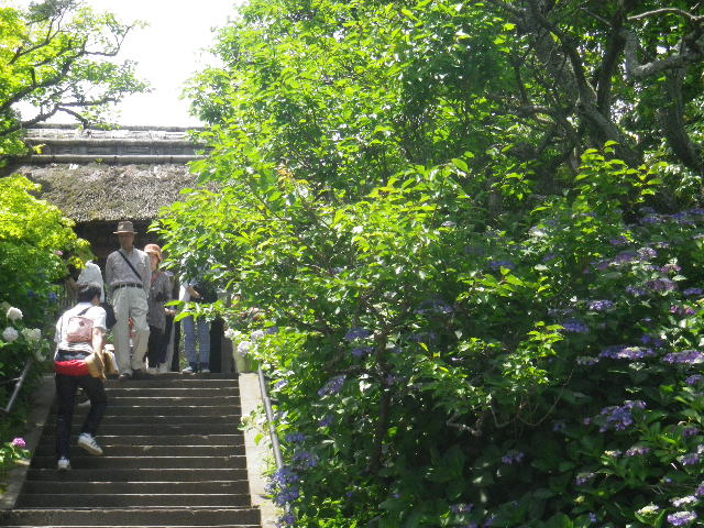 01) 山門前の階段 _ 16.06.11 鎌倉「東慶寺」崖を覆うイワタバコと崖を匍うイワガラミが咲く頃