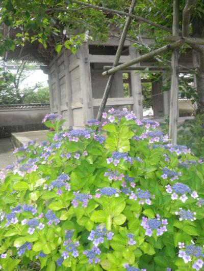 01-1) 山門左手前のガクアジサイ _ 16.06.19 蓮が咲き始めた 鎌倉「光明寺」