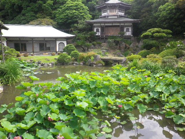 08) 記主庭園の蓮 _ 16.06.19 蓮が咲き始めた 鎌倉「光明寺」