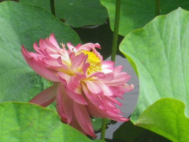 10-4) 記主庭園 手前側の蓮 _ 16.06.19 蓮が咲き始めた 鎌倉「光明寺」