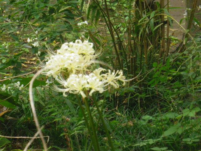 12) 白い彼岸花 _ 16.09.29 鎌倉「宝戒寺」 ' 萩の寺 ' とも呼ばれるが、今年の花は台風に甚振られた。