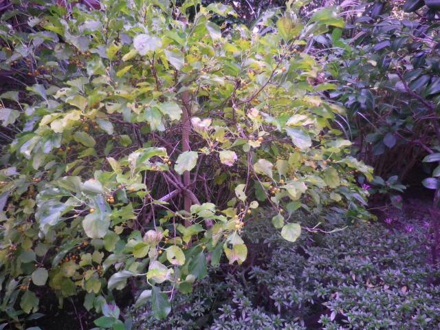01-2)    ' ツルウメモドキ '  16.11.17 この植物は「ツルウメモドキ」と知ったことだけの日記 _ 鎌倉「大巧寺」