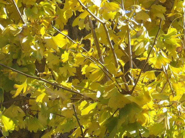 03-2)   16.12.02 鎌倉「大巧寺」 初冬の紅葉と黄葉