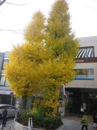 """01-3)   _ 16.12.05 鎌倉 """" 若宮大路 """" 沿いのの銀杏を、そぞろ歩きしながら """" 段葛 """" から眺めた。"""