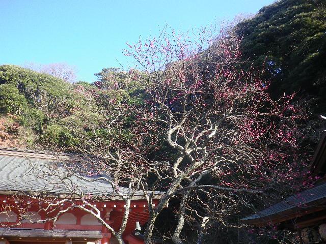 03) _ 17.01.02 もう梅が咲いていた 鎌倉「荏柄天神社」