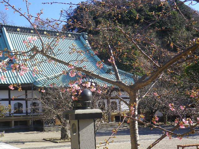 01-1)    17.01.21 鎌倉「光明寺」 の 河津桜