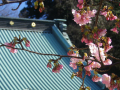01-2)    17.01.21 鎌倉「光明寺」 の 河津桜