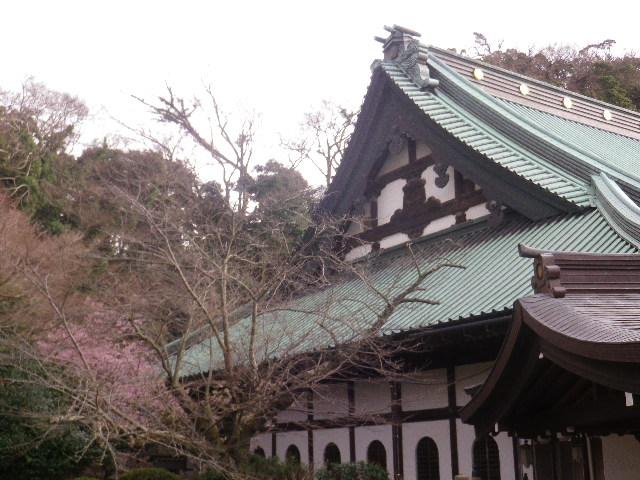 03-1) 開山堂の回廊から、大殿左側の河津桜を撮ったつもり。    17.02.11 鎌倉「光明寺」 鳥が河津桜の蜜を吸っていた