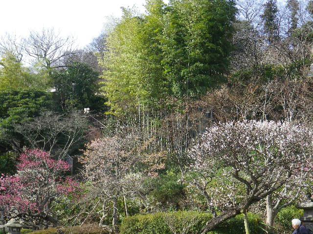 01-1) 17.0218 鎌倉「長谷寺」 梅咲く頃の最盛期を、覗き見した。
