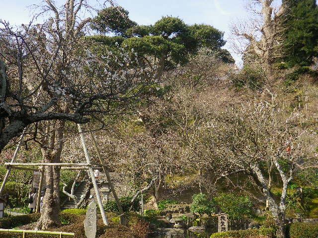 04-1) 17.0218 鎌倉「長谷寺」 梅咲く頃の最盛期を、覗き見した。