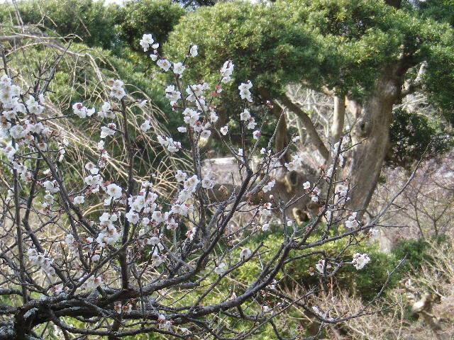 04-2) 17.0218 鎌倉「長谷寺」 梅咲く頃の最盛期を、覗き見した。