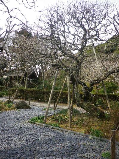 03-2)    17.02.18 鎌倉「瑞泉寺」  毎年同じような写真だけど、確実に十年前とは違う景観。