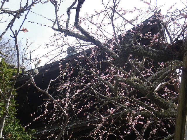 09-2)    17.02.18 鎌倉「瑞泉寺」  毎年同じような写真だけど、確実に十年前とは違う景観。
