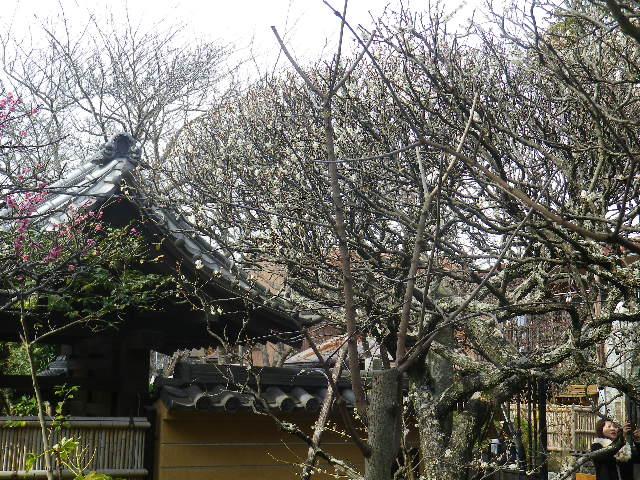 12-1)    17.02.18 鎌倉「宝戎寺」 休養期間と信じ、枝垂れ梅老大木の復活を願う。