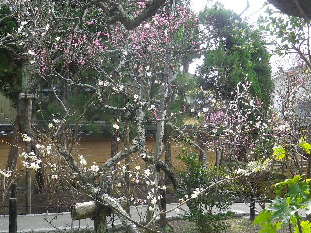 12-2)    17.02.18 鎌倉「宝戎寺」 休養期間と信じ、枝垂れ梅老大木の復活を願う。