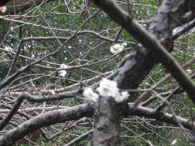 02-2)    17.02.22 鎌倉「安国論寺」 枝先に咲く梅の繊細さが際立つ頃