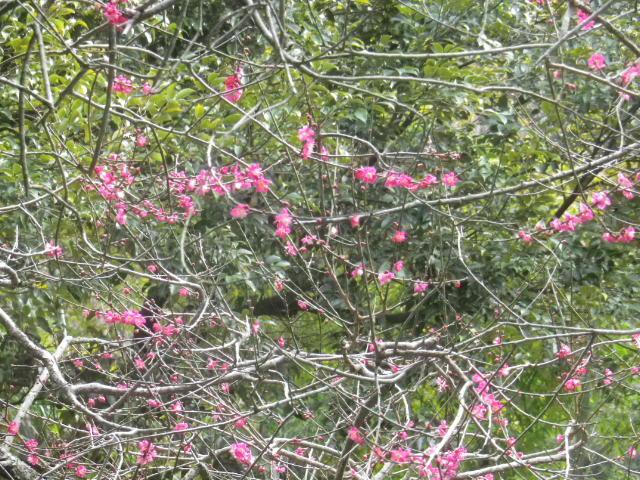 06-2)   17.02.22 鎌倉「安国論寺」 枝先に咲く梅の繊細さが際立つ頃
