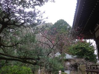 08b) 鎌倉「安国論寺」 枝先に咲く梅の繊細さが際立つ頃