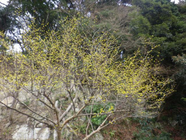 11-1) 鎌倉「安国論寺」 枝先に咲く梅の繊細さが際立つ頃