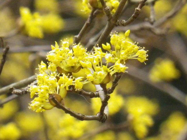 11-3) 鎌倉「安国論寺」 枝先に咲く梅の繊細さが際立つ頃