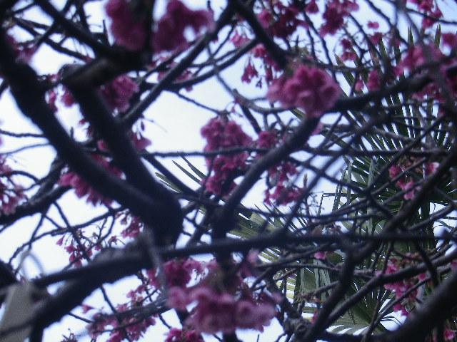 28-3) ' #緋寒桜 ' _ 17.03.25 日蓮宗系単立寺院 長慶山 大巧寺(だいぎょうじ)