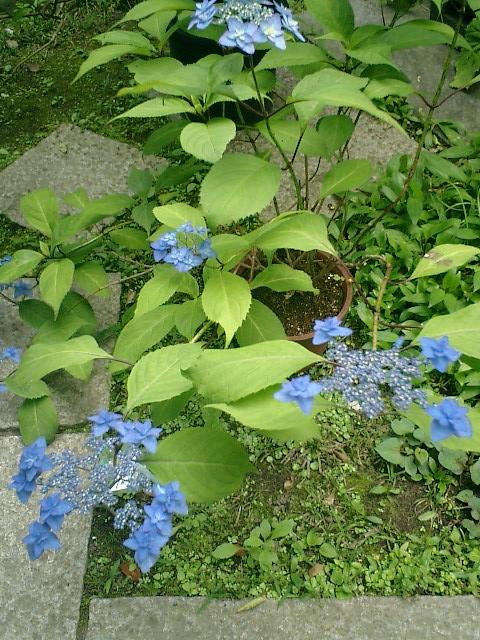 16-2) 京都美山町「深山八重紫」