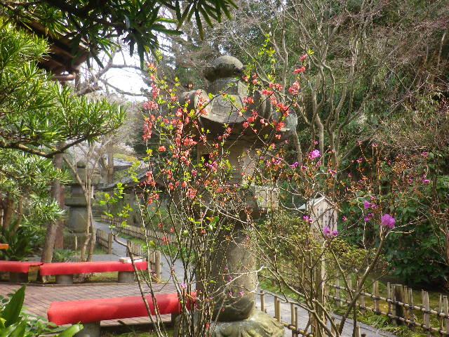 02-1) 17.03.30 鎌倉「安国論寺」 細身ながらも高木の古い桜が咲き揃った頃