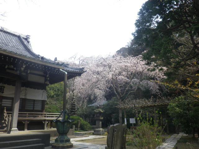 07-1)  17.03.30 鎌倉「安国論寺」 細身ながらも高木の古い桜が咲き揃った頃