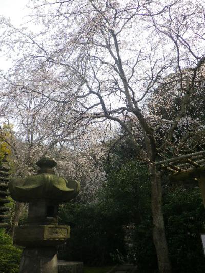 07-2)  17.03.30 鎌倉「安国論寺」 細身ながらも高木の古い桜が咲き揃った頃