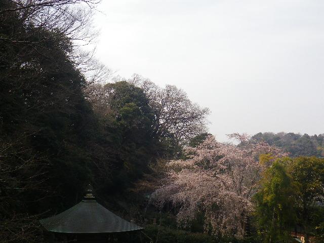 12)  17.03.30 鎌倉「安国論寺」 細身ながらも高木の古い桜が咲き揃った頃