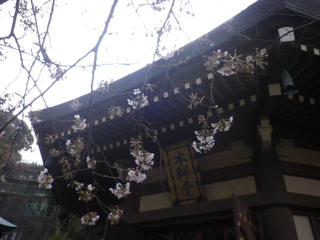 04-2) 手抜きズームではない!ちゃんと登って撮ったのダ!   17.03.30 鎌倉「長勝寺」 桜が開花し始めた頃