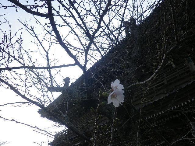04)    17.03.30 鎌倉「光明寺」 山門周辺の桜