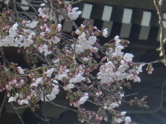 05)    17.03.30 鎌倉「光明寺」 山門周辺の桜