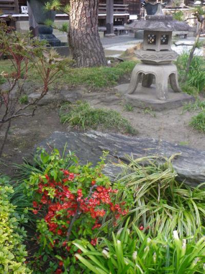 03-1)   17.03.30 鎌倉「九品寺」 未だかナ?まだかな?っと思っていたら、奥で咲き揃っていた木瓜。