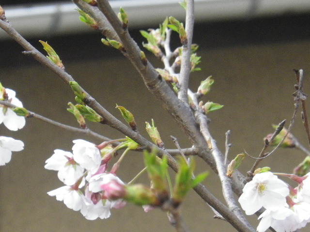 04-2)   17.03.30 鎌倉「九品寺」 未だかナ?まだかな?っと思っていたら、奥で咲き揃っていた木瓜。