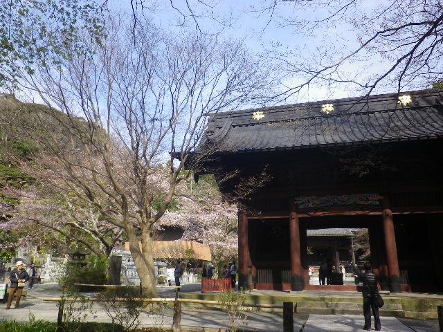 02)    左奥 ' 二天門 ' 周辺の桜を撮ったつもり。(手前は紅葉する樹木)  17.04.02 鎌倉「妙本寺」の桜