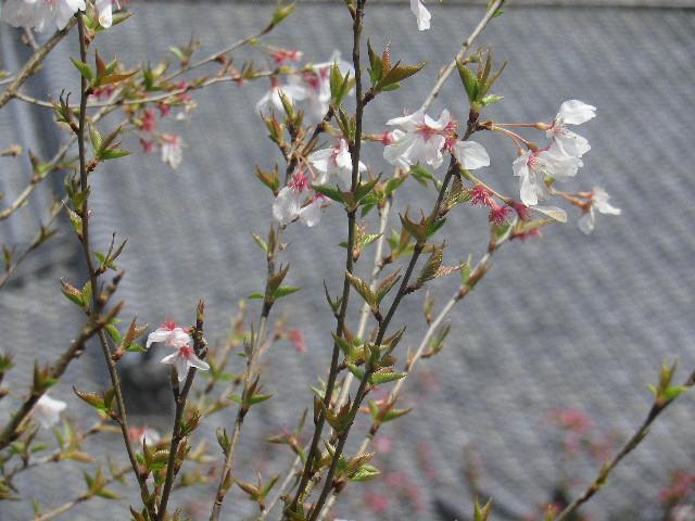 08-2) 名を知らぬ桜    17.04.02 鎌倉「妙本寺」の桜