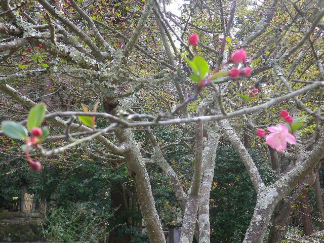 09-2) ' 祖師堂 ' 手前右側の海棠    17.04.02 鎌倉「妙本寺」の桜