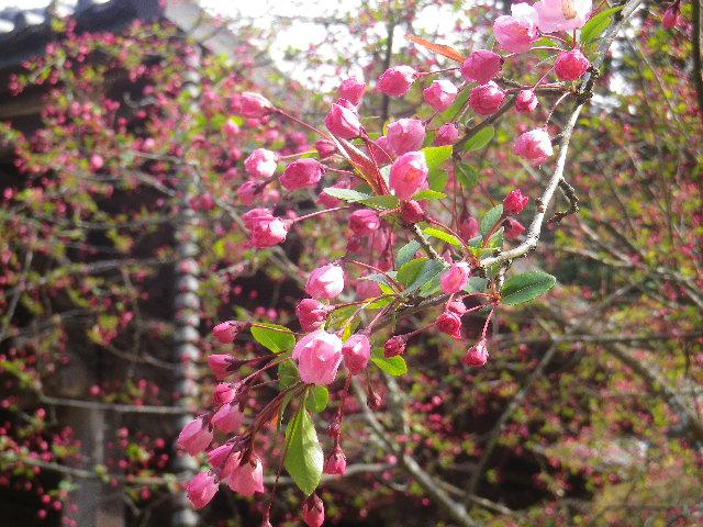 10-2) ' 祖師堂 ' 手前左側の海棠    17.04.02 鎌倉「妙本寺」の桜