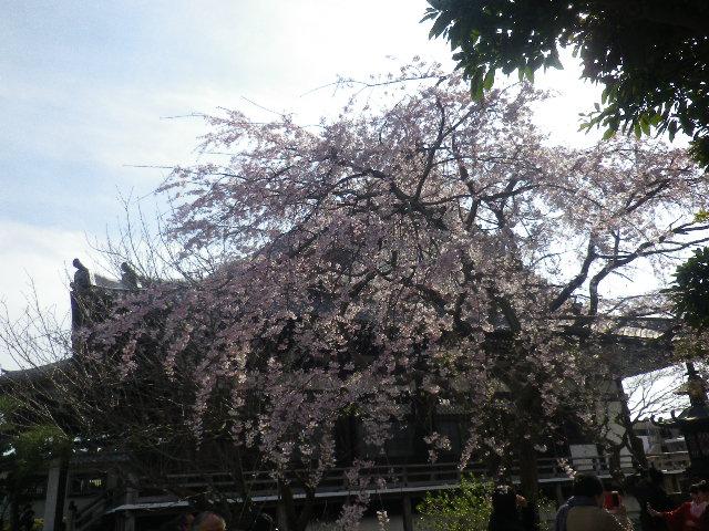 03-2)    17.04.02 鎌倉「本覚寺」の桜