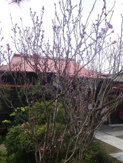 02-1)   17.04.02 鎌倉「向福寺」の桜