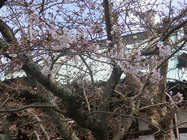 06-2)   17.04.02 鎌倉「光明寺」の桜