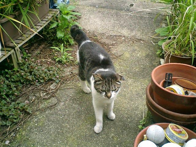 02)実家周辺のノラネコ。たぶん、実家外の物置下地面で生まれた猫だと思う。黄色いトラと双子だと思う。そうならば3歳か?